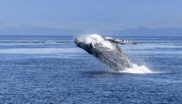Un ejemplar de ballena jorobada.