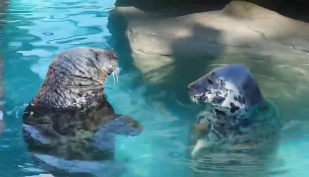 Las focas del Zoo Aquarium de Madrid se refrescan en el agua.