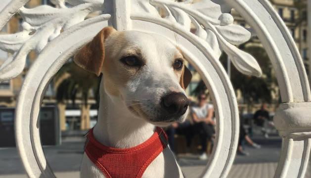 'Pipper' ha visitado San Sebastián y su dueño, el periodista Pablo Muñoz Gabilondo le ha fotografiado en el conocido paseo de La Concha.
