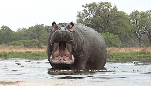 Un hipopótamo mata en Kenia a un turista que estaba haciendo fotos