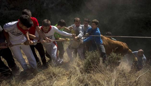 Las vacas de la ganadería Vicente Domínguez, de Funes, protagonizan el sexto encierro del Pilón de fiestas de Tafalla 2018, en el que uno de los animales ha caído a la poza.