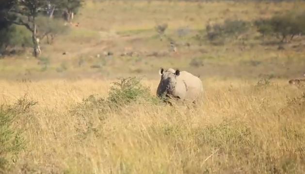 Un rinoceronte sin cuerno