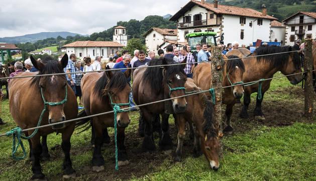 Exhibición de caballos de raza Burguete en el Día del pastor de 2017, en Amaiur.