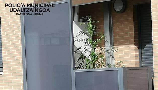 Las plantas de marihuana han sido halladas en balcones.
