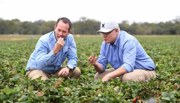 El primer ministro australiano Scott Morrison (d) come una fresa junto al miembro liberal de Fisher Andrew Wallace (i) durante una visita a la granja de fresas Ashbern en Sunshine Coast, Queensland, Australia