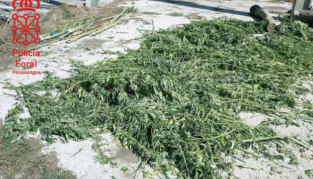 La plantación descubierta en Leitza.