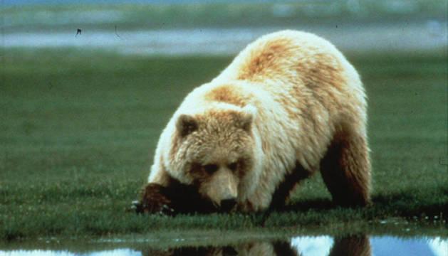 Un oso grizzly como el que atacó al joven minero en Alaska.