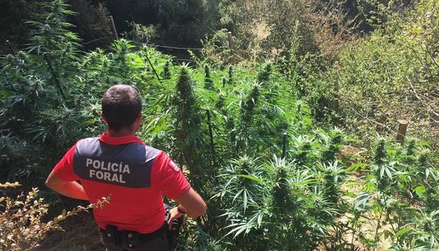 Denunciados por plantar marihuana en tres parajes de Iturgoyen