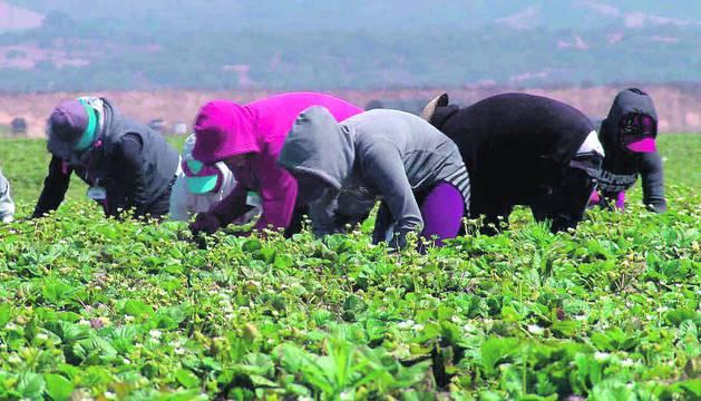 Imagen de trabajadores inmigrantes en un campo en plena labor de recolección.