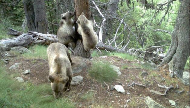 foto de Imagen de una osa con dos crías tomada en la pujante población del Pirineo central (41 osos).