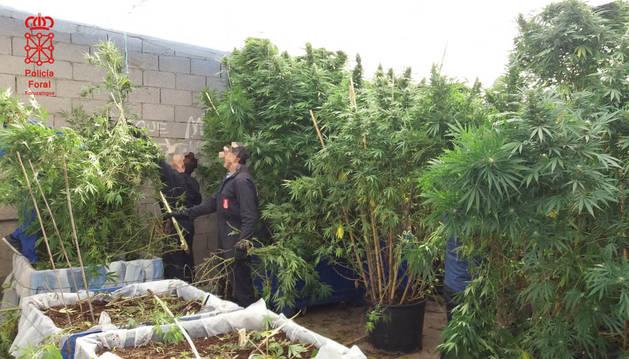 La Policía Foral concluye la campaña para detectar el cultivo de marihuana