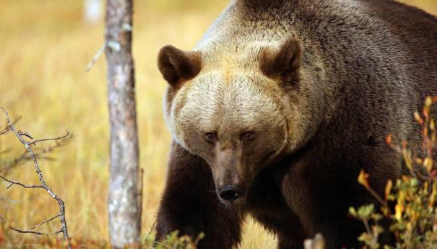 Un macho de gran tamaño, en uno de los avistamientos de septiembre en el paraje finlandés.