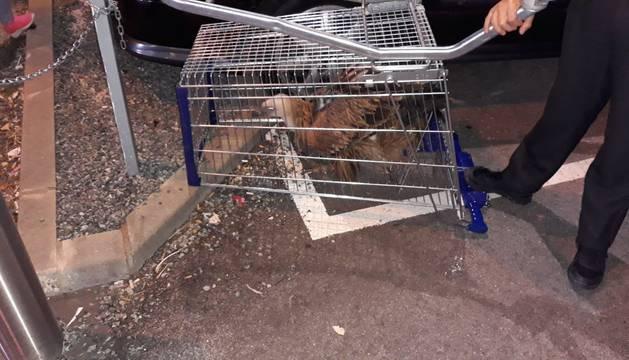 El buitre capturado por la Policía Foral en un carro de la compra bocabajo.