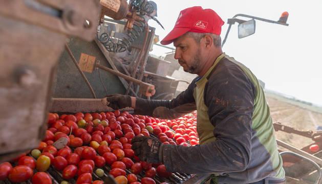 Una persona selecciona el tomate en una máquina en el mismo campo, nada más recolectarlo.