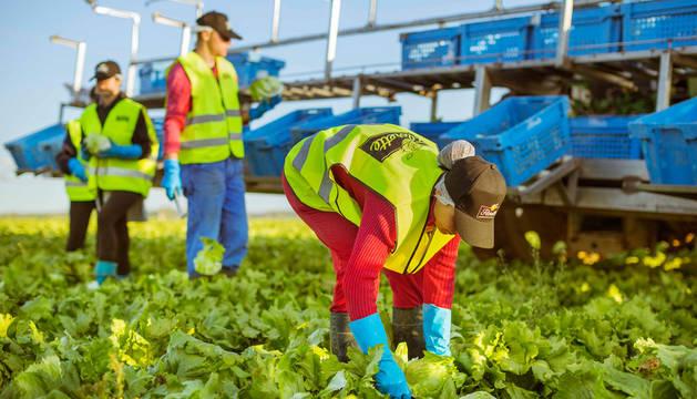 foto de Trabajadores de Florette recogiendo lechugas en un campo.