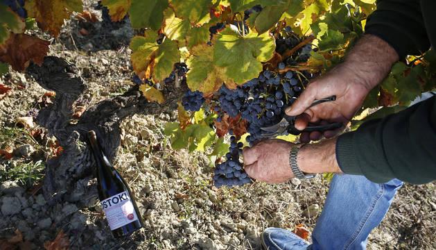 Las uvas garnacha, a punto de ser recogidas, en el paraje 'Ostoki', que da nombre al vino.