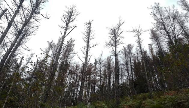Navarra sustituye el pino insignis por otras especies resistentes a los hongos