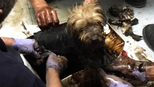 Los bomberos rescatan a un perro que se había caído a un charco de alquitrán