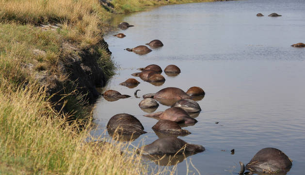 Los búfalos ahogados en el río Chobe, al norte de Botswana.