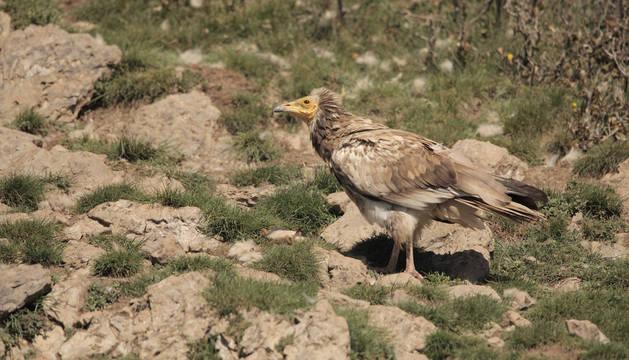 El plumaje más oscuro delata la edad de un alimoche de tercer o cuarto año. Hasta el quinto no desarrolla su aspecto blanco.