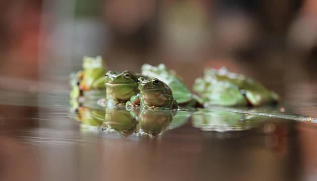 Ranas durante la carrera de ranas en Darwin (Australia).
