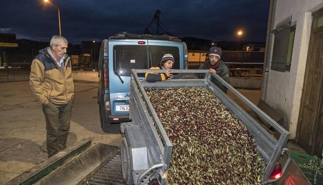 Un remolque en plena descarga de la oliva, cuya recogida había alcanzado el 90% en el ecuador de esta semana prenavideña.