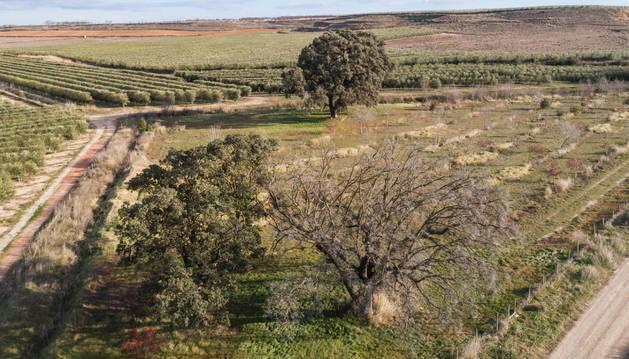 Imagen de las tres encinas declaradas monumento natural, con la que está muerta, en primer término a la derecha.