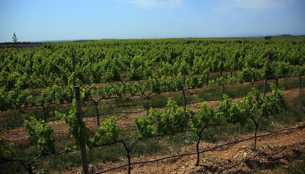 El proyecto turístico de la Ruta del Vino coge como base la cultura del vino. En la imagen, viñedos de Olite.