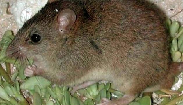 Fotografía facilitada por WWF Australia del Melomys rubicola.