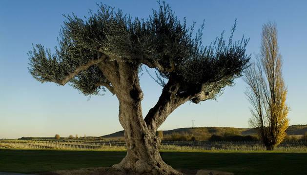 Imagen de un olivo.