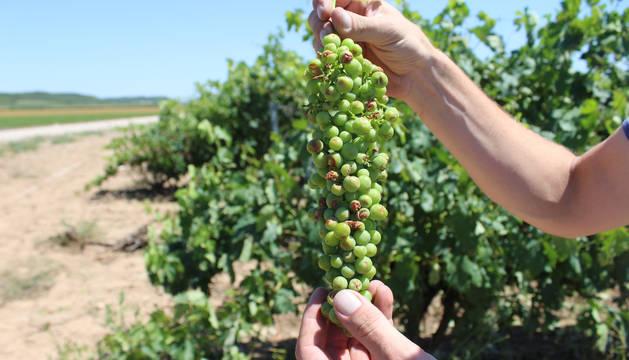 Imagen de un racimo de uva con daños por pedrisco en julio.