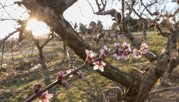 Un melocotonero florecido en pleno invierno en un campo de Tudela.