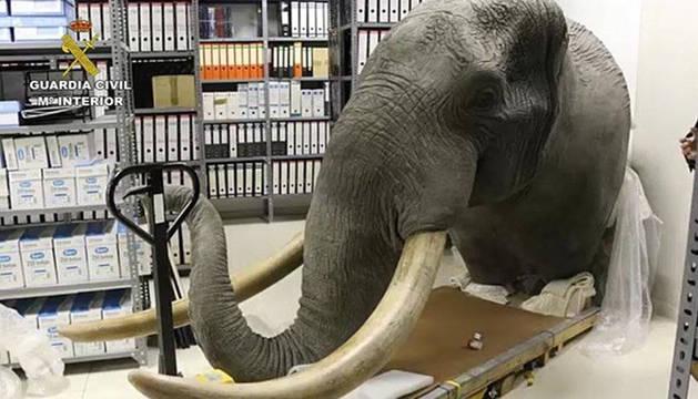 Imagen de la cabeza disecada de elefante recuperada por la Guardia Civil en un almacén de Pamplona.