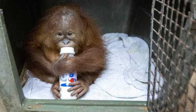 Foto del orangután de dos años se toma un biberón durante una rueda de prensa.