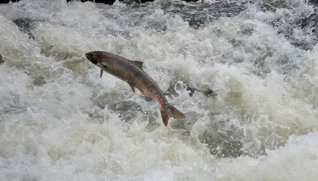 El salmón espera