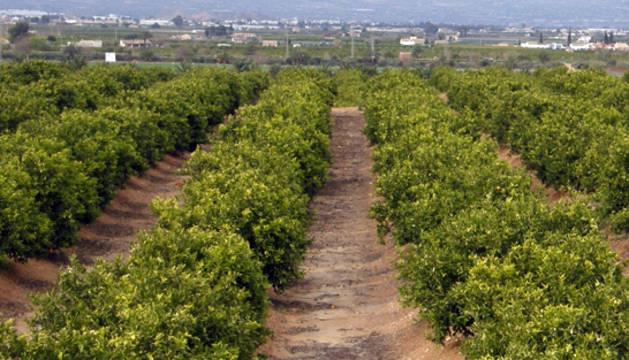 Un campo de naranjos en la Comunidad Valenciana.