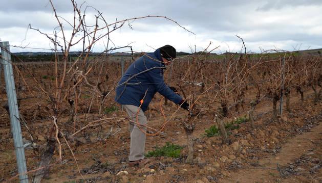 Foto de un agricultor trabajando en una viña situada en Usón de Andosilla, término que está incluido en las zonas complementarias de la ampliación de la 1ª fase del Canal de Navarra.
