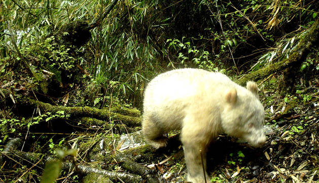 El oso panda albino fotografiado en China.