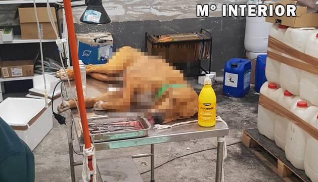 Un perro, tras ser intervenido en la clínica veterinaria clandestina en la Ultzama.
