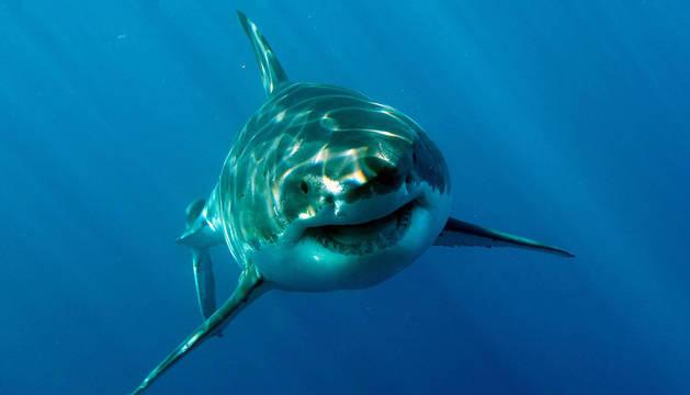 Un tiburón blanco como el que atacó a la turista.
