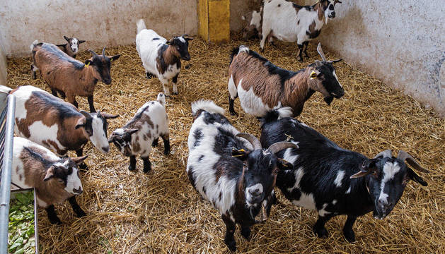 Varias cabras, en un corral.