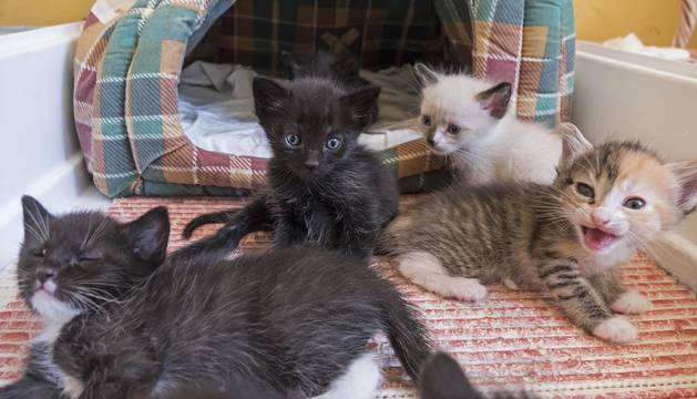 Imagen de los gatos acogidos durante estos días en el refugio que gestiona Egapeludos en Estella.