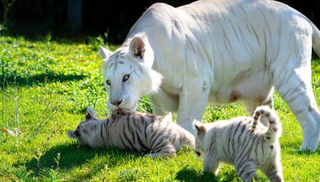 Las crías de tigre blanco de Sendaviva se llaman Zuri y Tristán