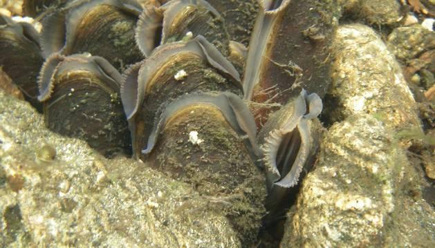Grupo de 'Margaritifera margaritifera', almeja o mejillón de río fotografiado en Suecia.