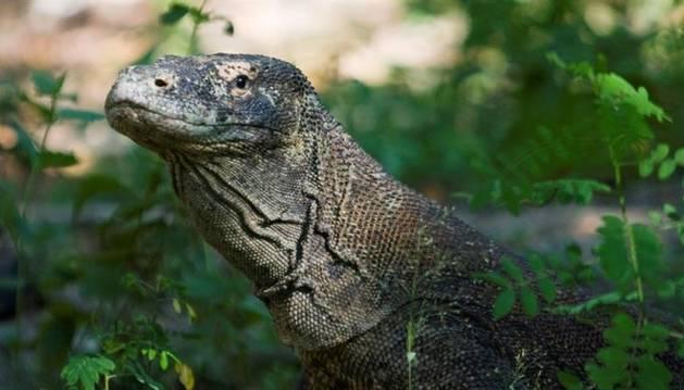Foto de dragón de Komodo.