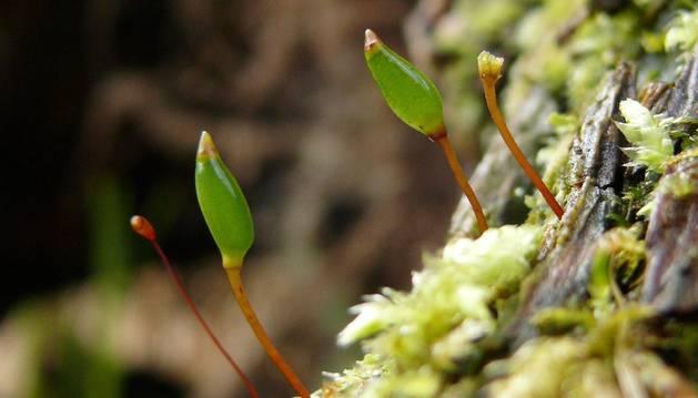 Ejemplares de Buxbaumia viridis fotografiados en Alemania.