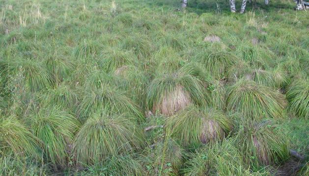 Foto de un área de Carex cespitosa en Finlandia.