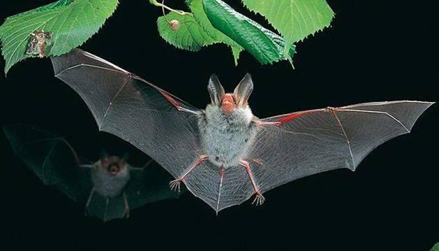 Un ejemplar de murciélago ratonero, en pleno vuelo.