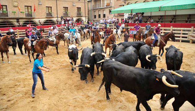 Toros y vacas, en la Plaza de los Fueros, tras ser conducidos por las calles de Larraga por los caballistas.