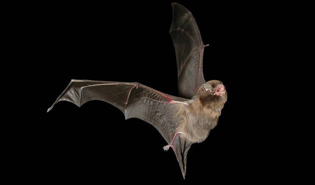 Un ejemplar de murciélago de cueva.